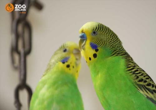Papoušci vlnkovaný